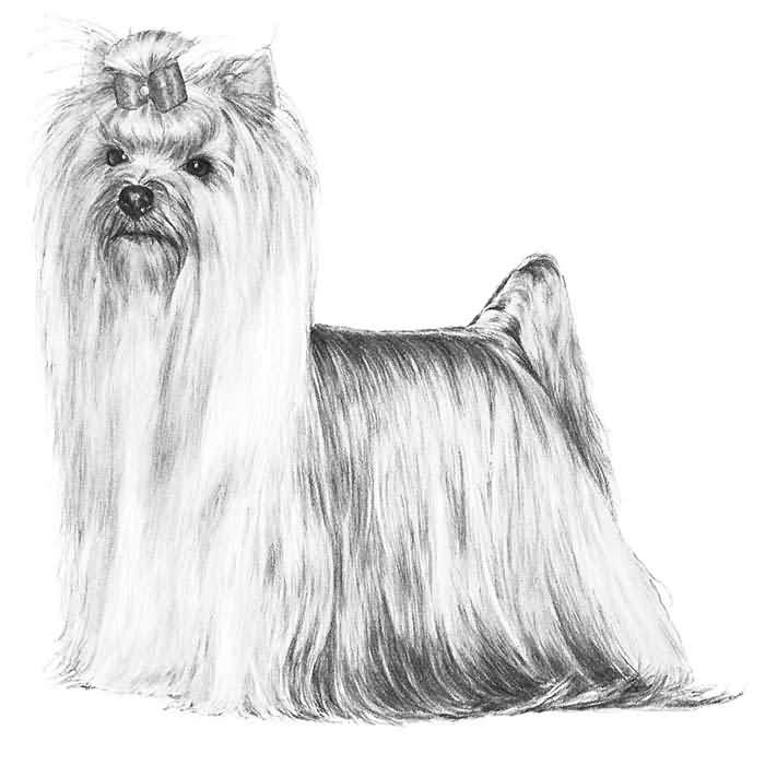 Brilliant Sketch Of Yorkshire Terrier Dog