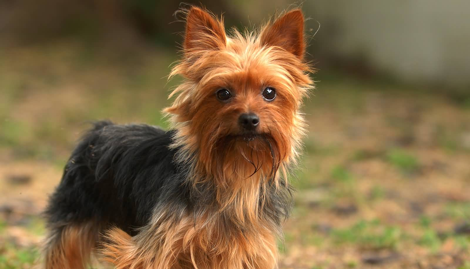 Brilliant Yorkshire Terrier Dog With Short Hair Style