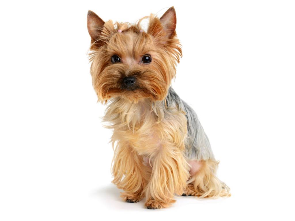 Confused Yorkshire Terrier Dog With Long Golden Hairs