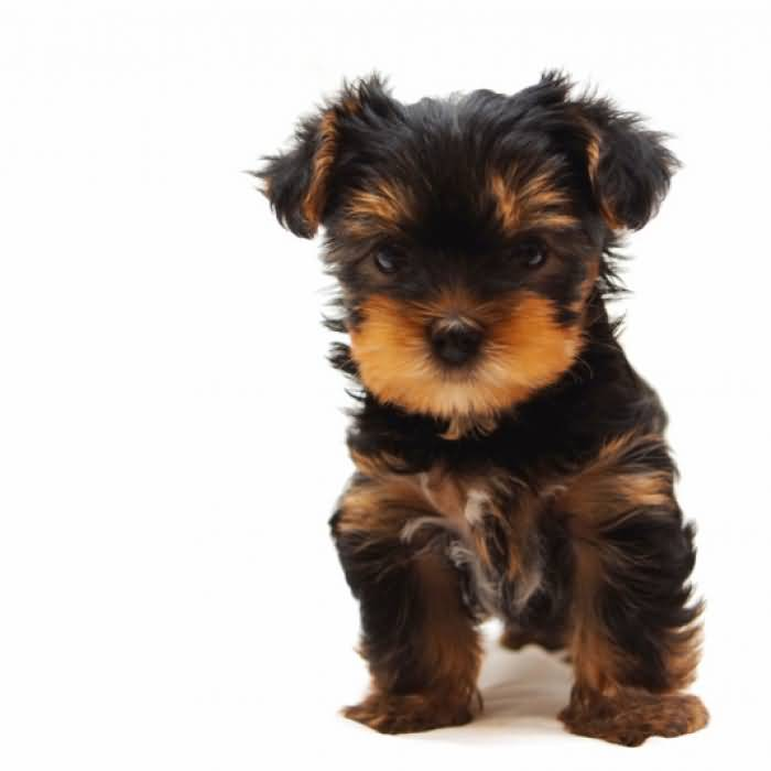 Cool Mix Small Yorkshire Terrier Dog Looks Very Angry