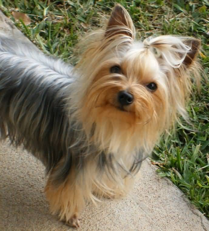 Cute Yorkshire Terrier Dog With Golden Silky Hairs
