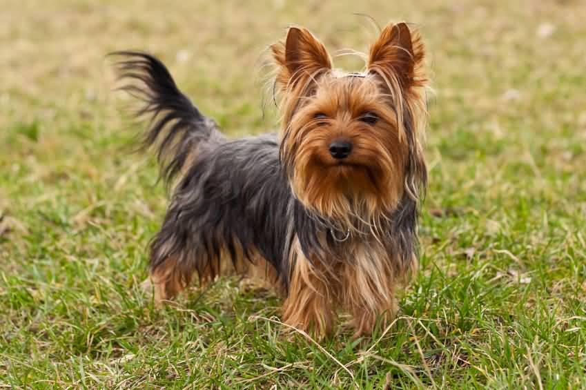 Cutest Black and Brown Yorkshire Terrier Dog In Lawn