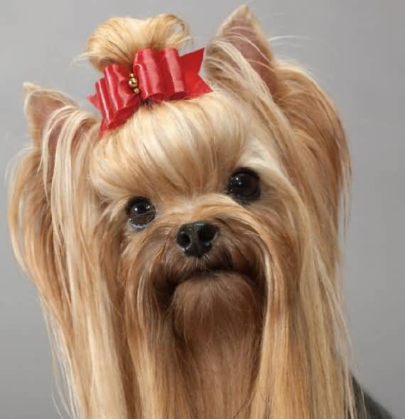Cutest Female Yorkshire Terrier Dog With Nice Red Bow