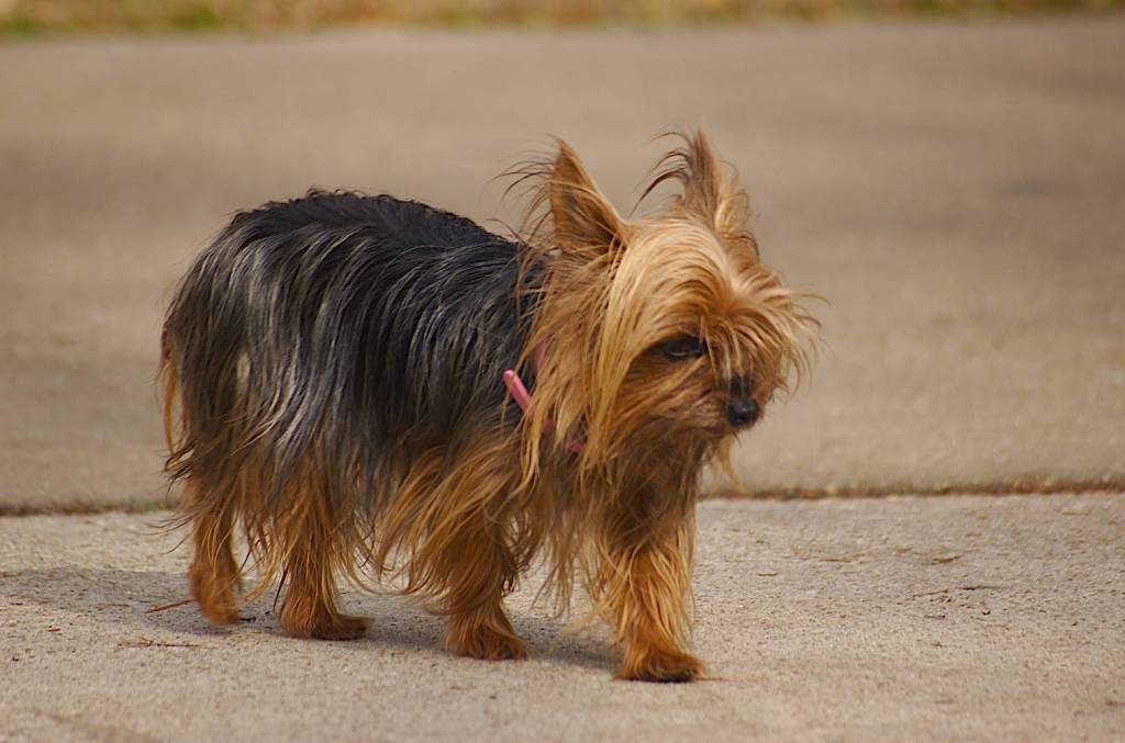Cutest Toy Yorkshire Terrier Dog Goes To Saloon