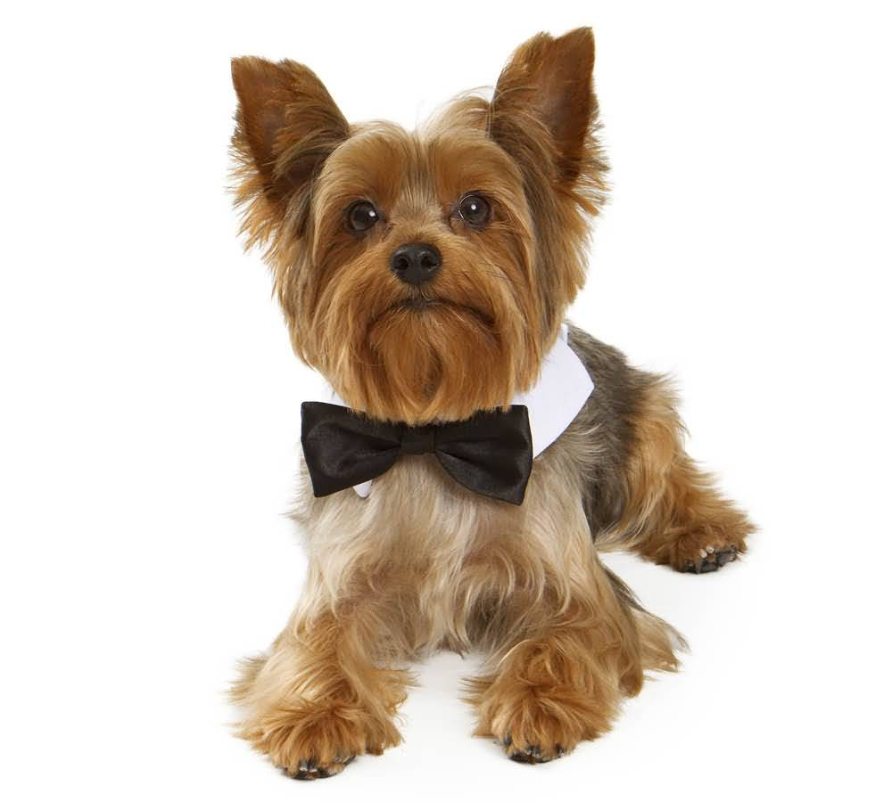 Gentleman Yorkshire Terrier Dog Looks Handsome With Black Bow
