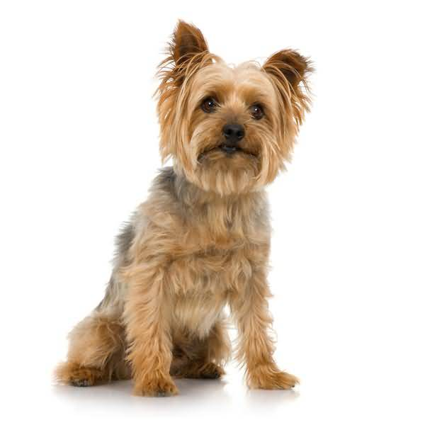 Handsome Yorkshire Terrier Dog With New Short Hair Cut