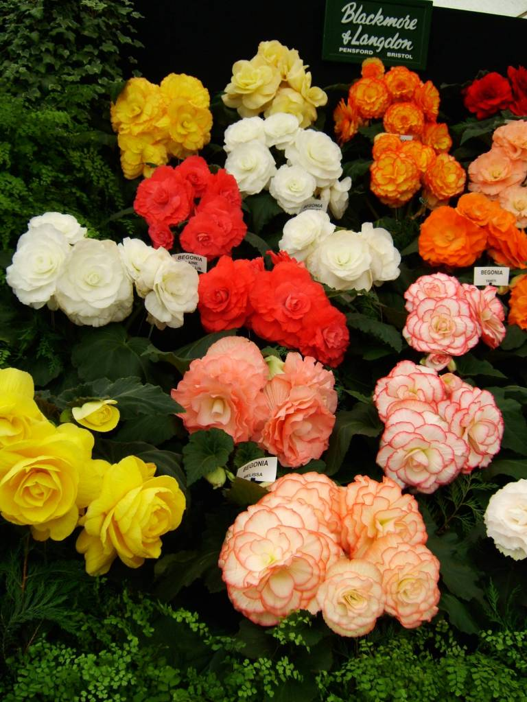 Lots Of Colorful Begonia Flower For Sell
