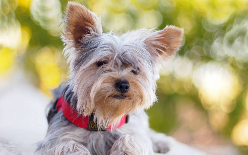 Lovely White Yorkshire Terrier Dog With New Red Collar