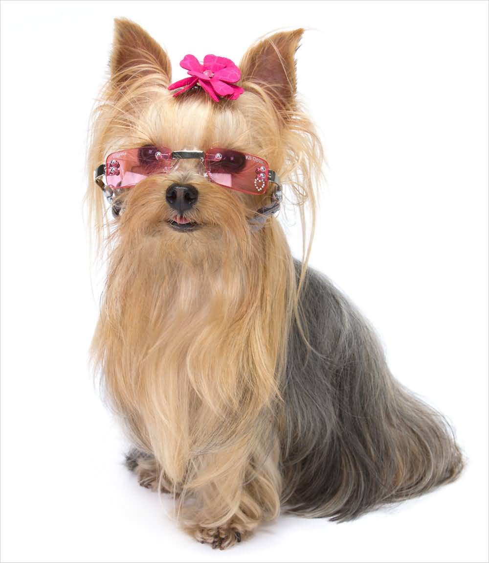 Lovely Yorkshire Terrier Dog With Amazing Sunglasses