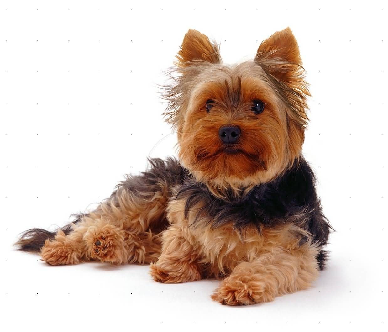 Most Amazing Yorkshire Terrier Dog Looks Adorable