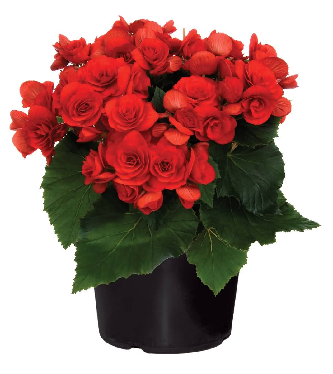 Most Attractive Red Begonia Flower In Vase