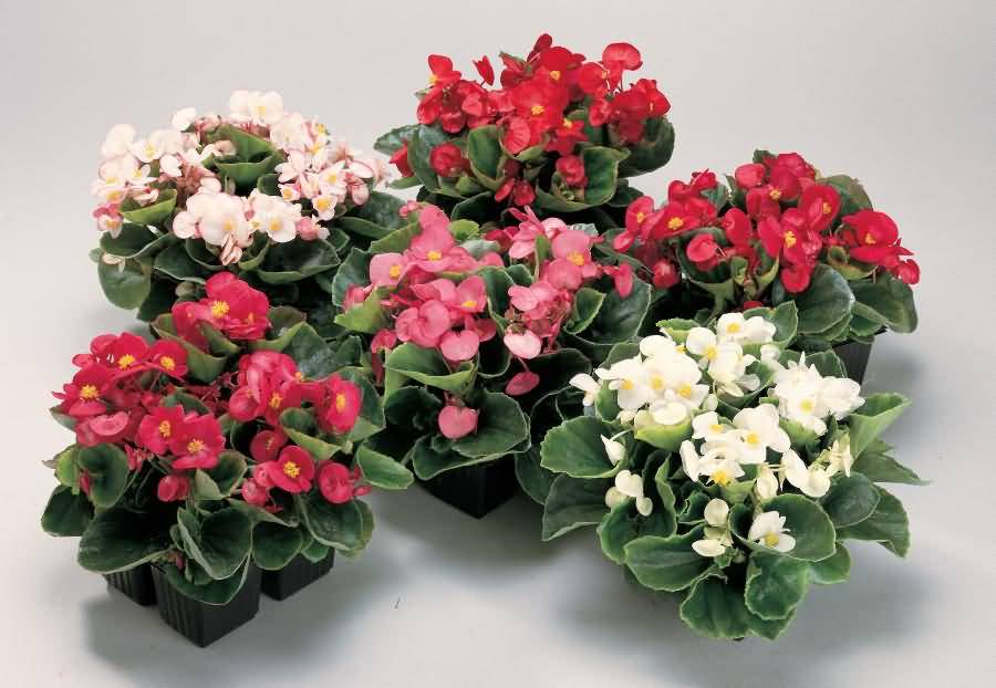 Most Beautiful Begonia Flower Bouquet For Decorate Home