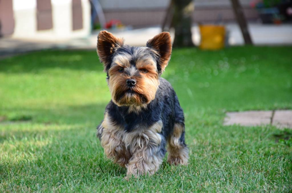 My Best Yorkshire Terrier Dog Looks Awesome