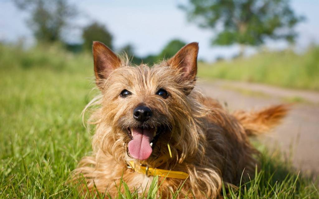 Nice Brown Yorkshire Terrier Dog Sitting Side Of Road