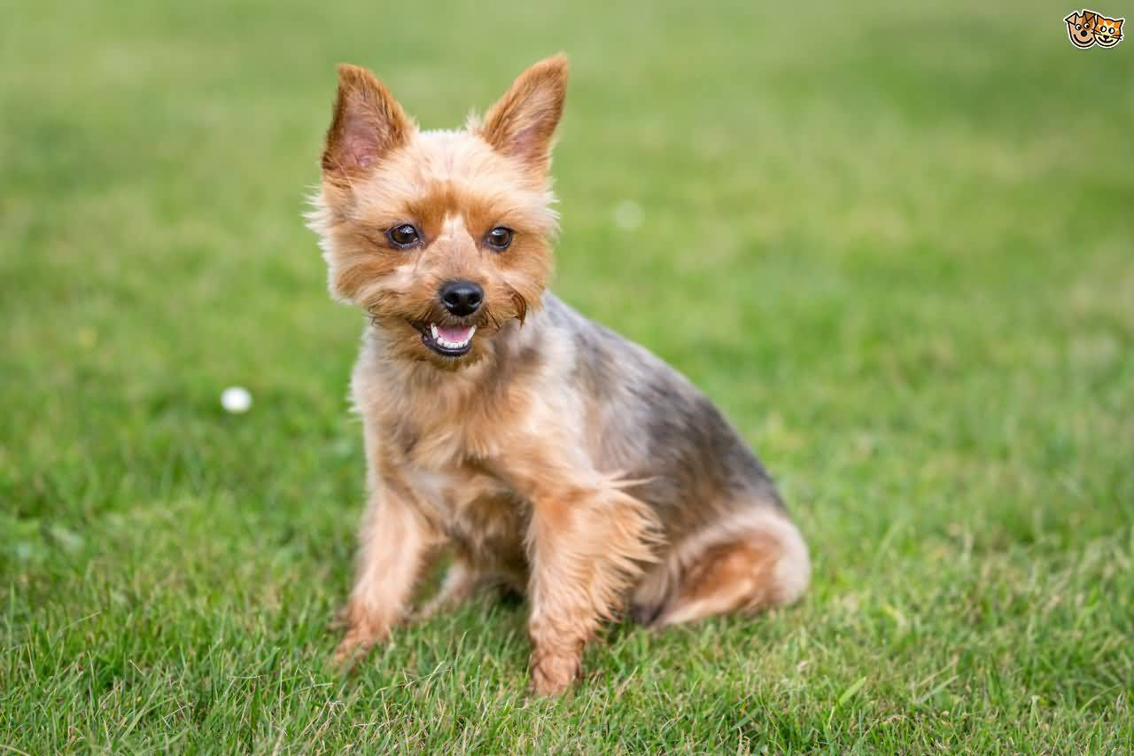 Nice Mix Yorkshire Terrier Dog Laughing At You