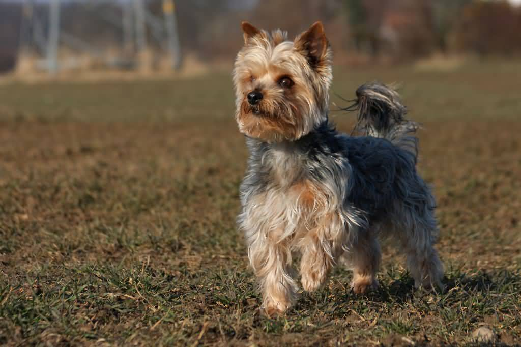 Nice Mix Yorkshire Terrier Dog Playing In Garden