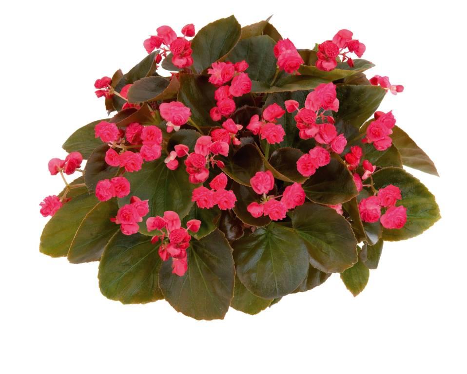 Rare Red Begonia Flower Decorated Very Nicely
