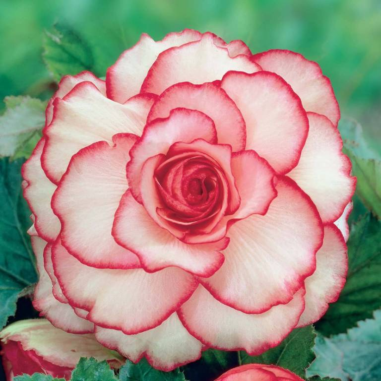 Red and White Begonia Flower Make You Fall In Love