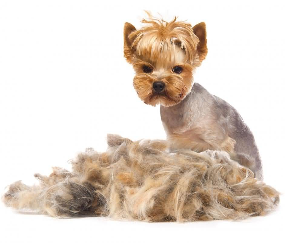 Sad Yorkshire Terrier Dog Looks His Hairs