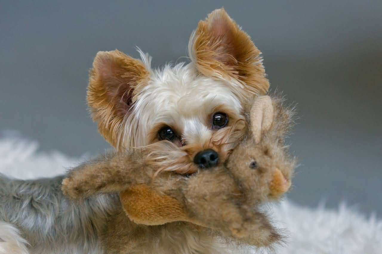 Very Adorable Yorkshire Terrier Dog Playing With Dummy Toy