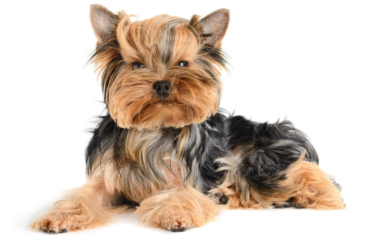 Very Cute Adult Yorkshire Terrier Dog For Home
