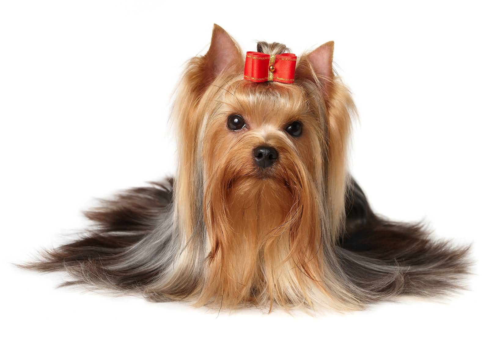 Very Sweet Yorkshire Terrier Dog With Red Bow On Head