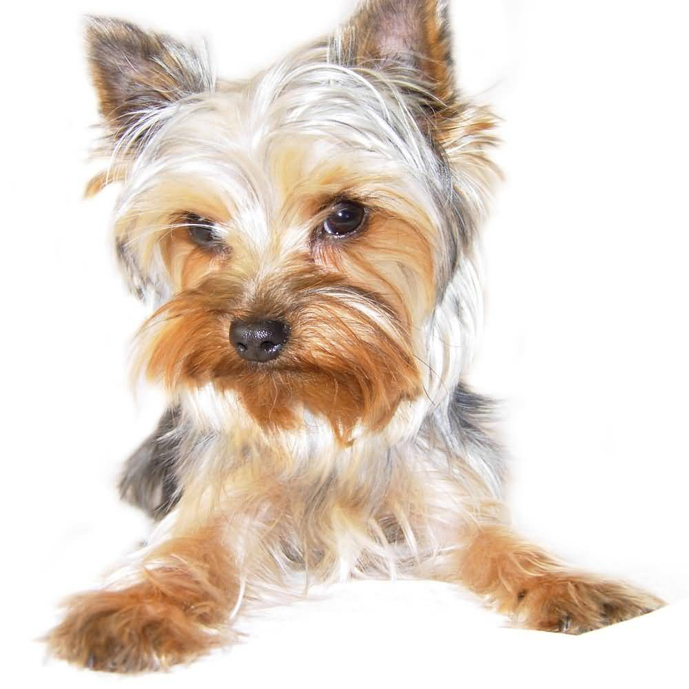 White Yorkshire Terrier Dog With Lovely Golden Hairs