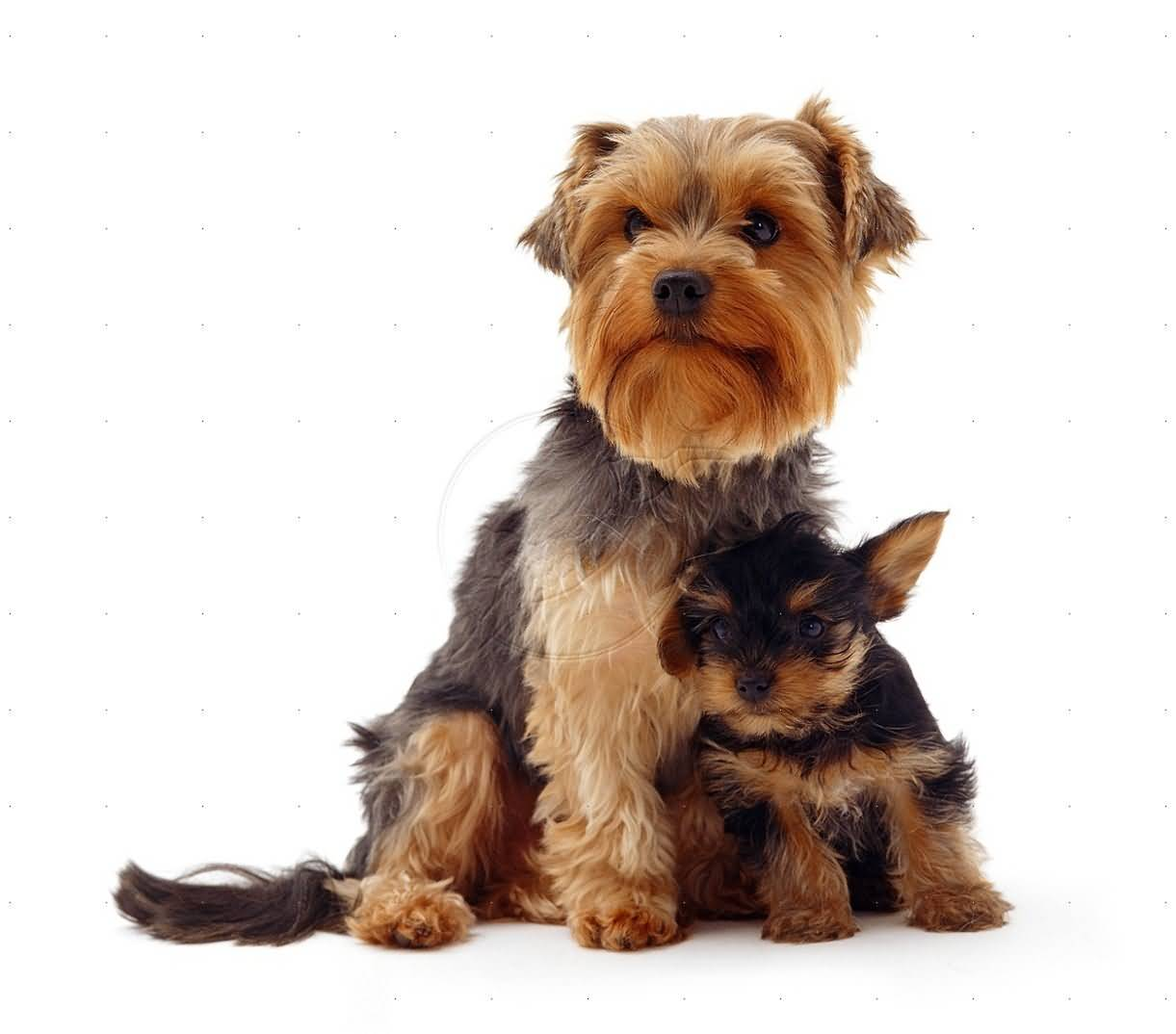 Wonderful Yorkshire Terrier Dog With His Small New Friend