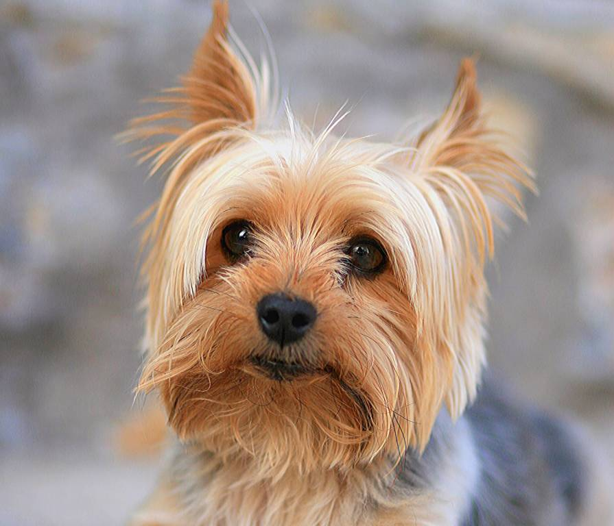 Yorkshire Terrier Dog Looks Adorable With New Look