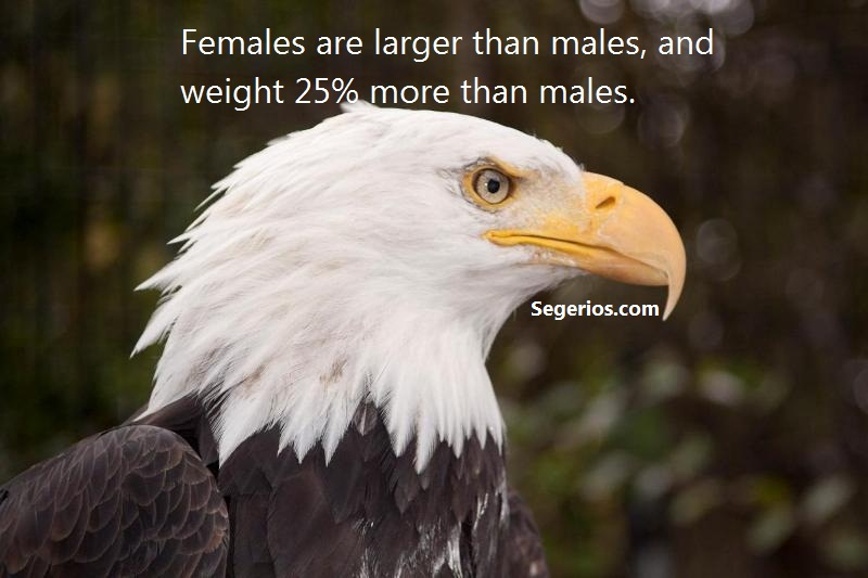 01 @ Bald Eagles Facts