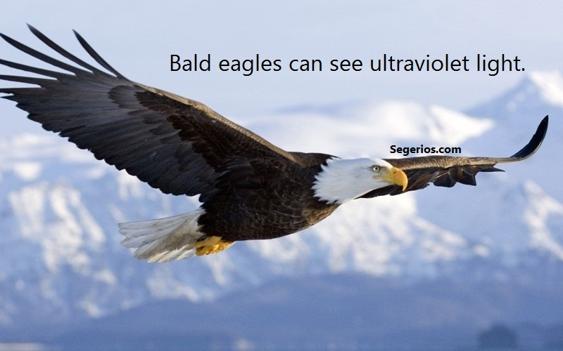 03 @ Bald Eagles Facts