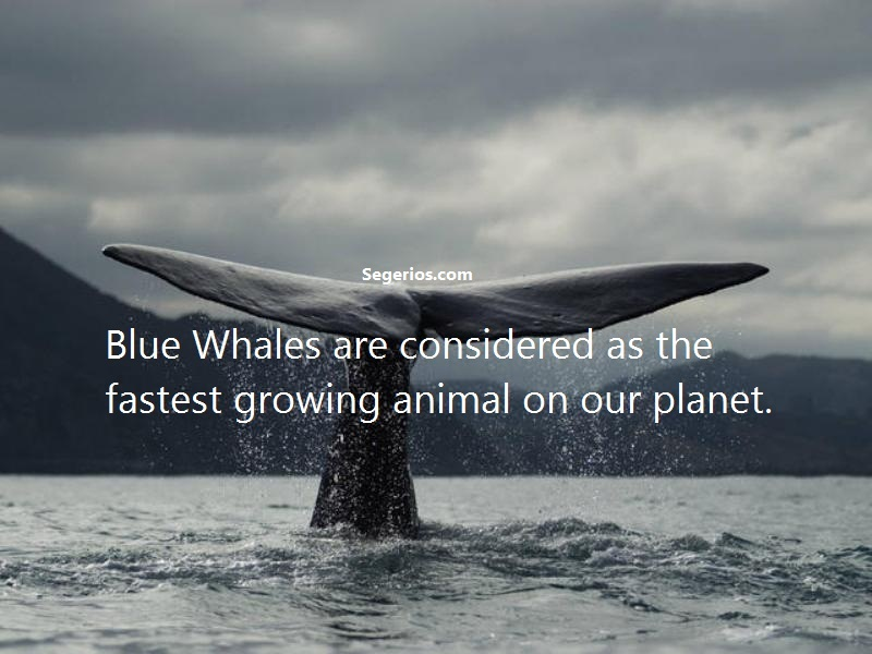 03 @ Blue Whales Facts