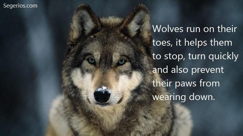 03 @ Wolfs Facts