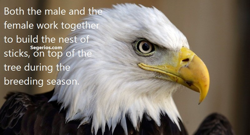 Bald Eagles Facts