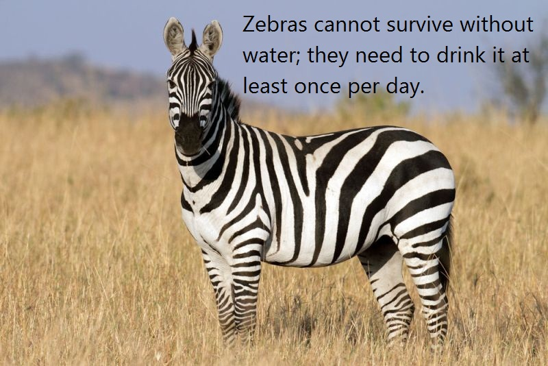 05 @ Zebras Facts