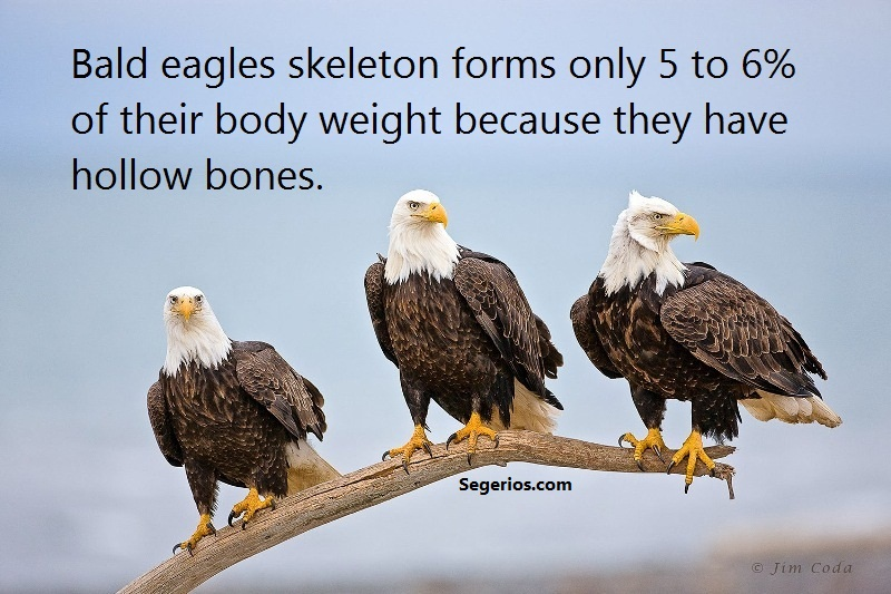 06 @ Bald Eagles Facts