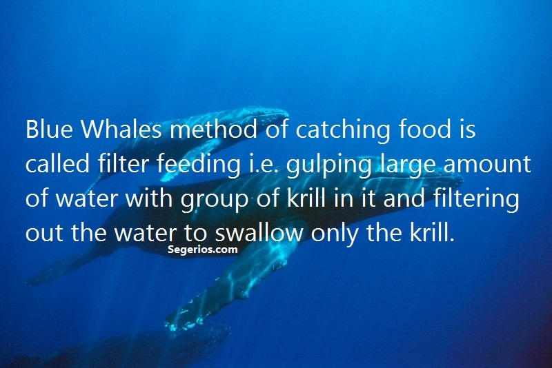 06 @ Blue Whales Facts