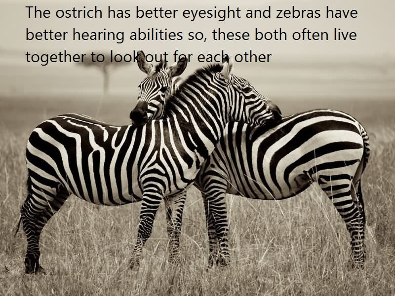 06 @ Zebras Facts