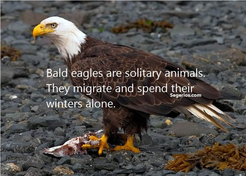 07 @ Bald Eagles Facts