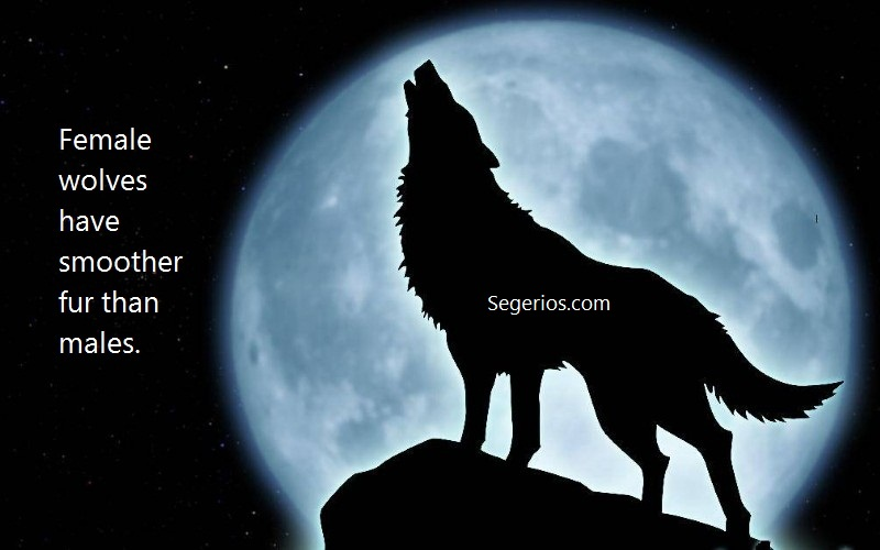07 @ Wolfs Facts