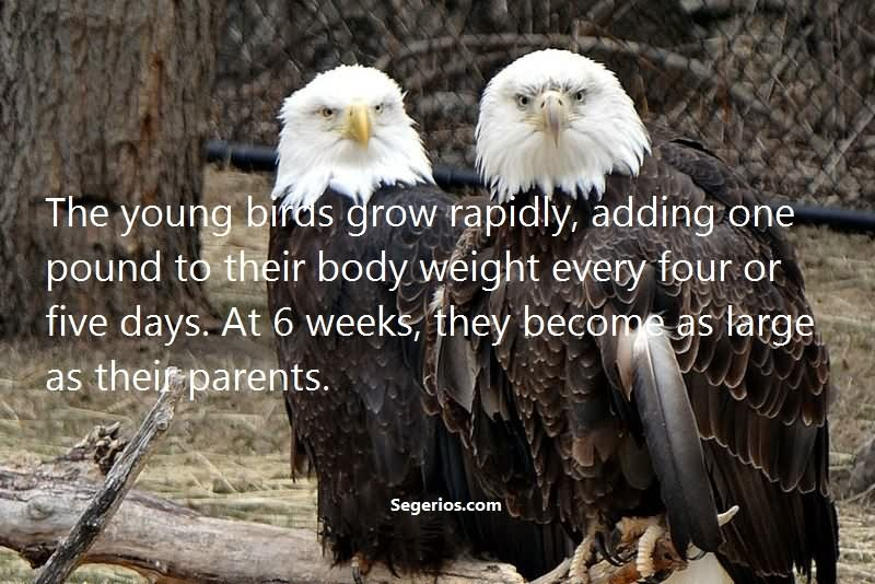 08 @ Bald Eagles Facts