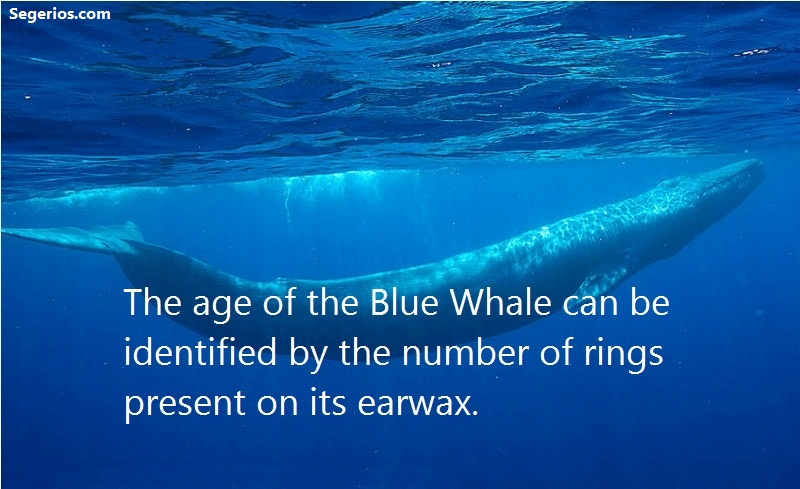 08 @ Blue Whales Facts