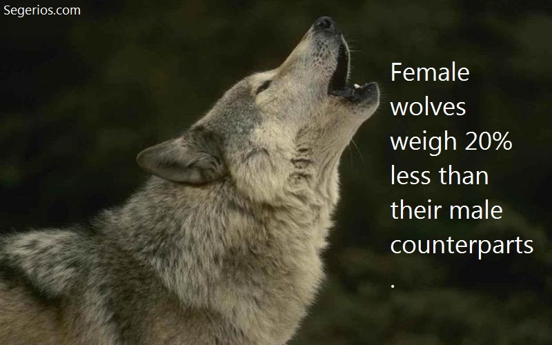 08 @ Wolfs Facts
