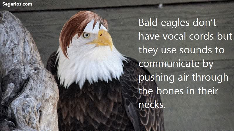 09 @ Bald Eagles Facts