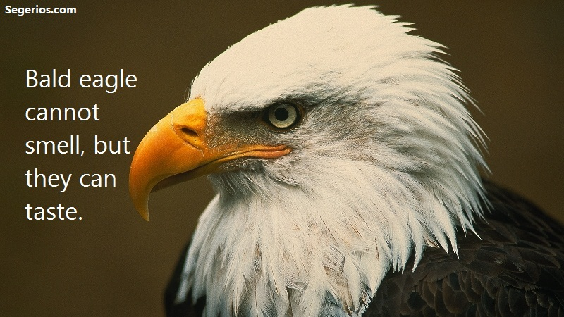 10 @ Bald Eagles Facts