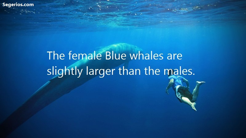 10 @ Blue Whales Facts