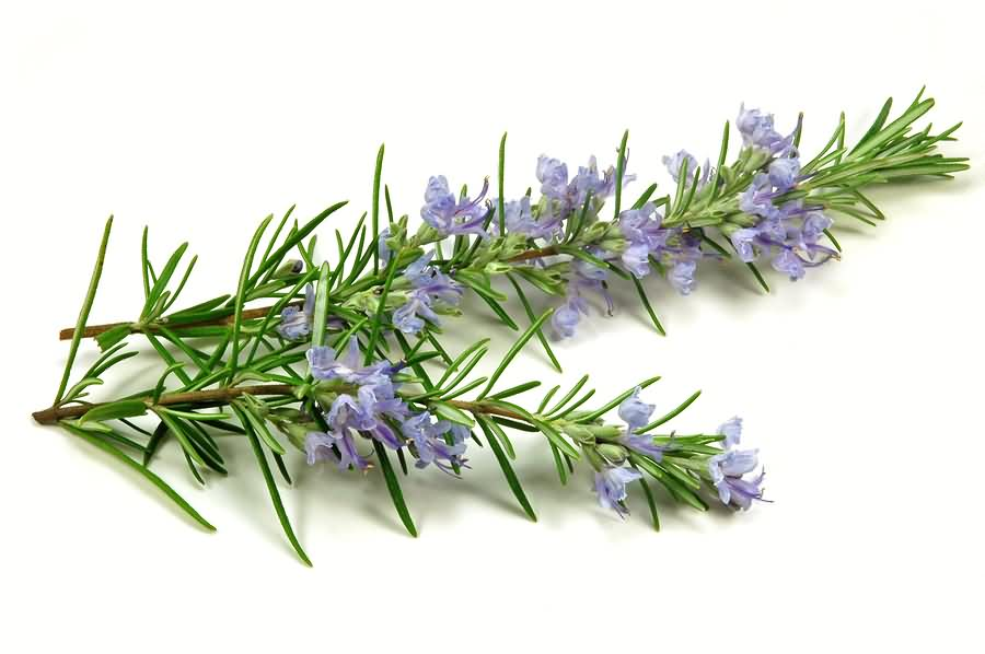 Rosemary @ Healthy Food For Brain
